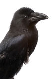 Raven. Big black raven close-up portrait on white background Stock Photography