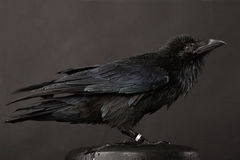 Raven. Big black raven close-up portrait on grey background Royalty Free Stock Photos