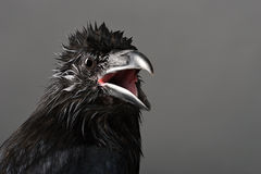 Raven. Big black raven close-up portrait on grey background Stock Photos