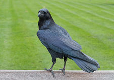 Raven. Common Raven (Corvus corax) on green grass background Stock Photo