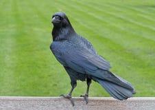 Raven Photo stock
