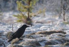 Raven photos stock