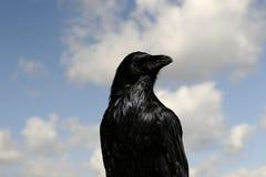 Raven Fotografie Stock Libere da Diritti