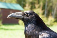 raven Immagine Stock
