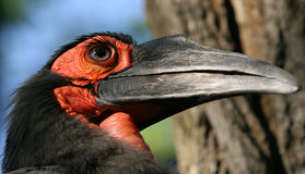 Raven. Big black raven close-up portrait Royalty Free Stock Photography