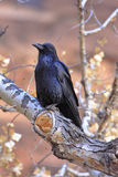 Raven. Resting on a branch above Bryce Canyon Royalty Free Stock Photos
