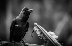 raven Imagens de Stock Royalty Free