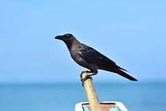 raven Fotografia de Stock
