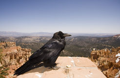 Raven. Sitting on stone, Bryce Canyon, Utah Stock Image
