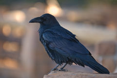 Raven. Common Raven (Corvus corax Royalty Free Stock Photo