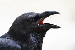 Raven Photos stock