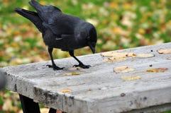 raven Imagen de archivo libre de regalías