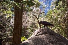 raven Fotografía de archivo libre de regalías