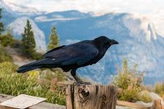 raven Lizenzfreie Stockfotos