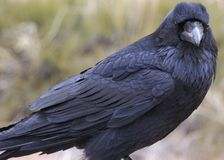 Raven. (corvus corax) Canyonlands National Park, Utah Royalty Free Stock Image