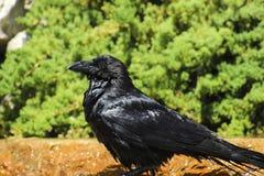 raven Lizenzfreies Stockbild