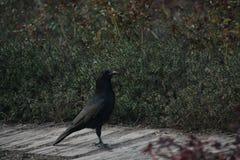 raven Imagenes de archivo