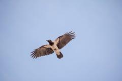 raven Foto de archivo libre de regalías