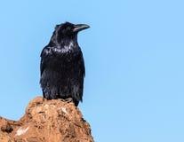 raven Imagens de Stock