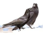 Raven royalty-vrije stock foto's