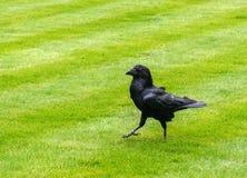 Raven alla torre di Londra Fotografia Stock