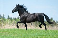 Raven andalusian horse royalty free stock photo