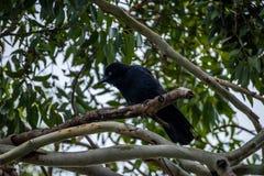 Raven australien Image stock