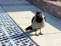 Raven. Beautiful black and grey raven in town royalty free stock photo