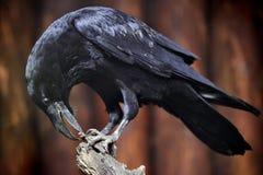 Raven. Big raven on a branch Stock Photo