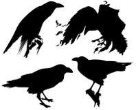 Raven bird vector. Raven birds detailed silhouettes - fine black outlines over white Stock Photos