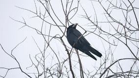 Raven bird corbie sitting on a branch of strong wind, dry tree stock video footage