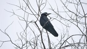 Raven bird corbie sitting on a branch of a strong wind, dry tree stock video