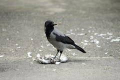 Raven Bird Stock Photos Royalty Free Stock Images