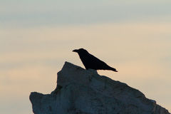 Raven bird on a rock. Symbol of ill omen and death. Stock Photos