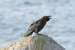 Raven bird on a rock. Symbol of ill omen and death. Royalty Free Stock Photo