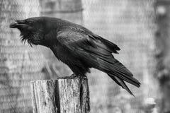 Raven. A bird standing on a tree stump. Corvus corax Stock Image