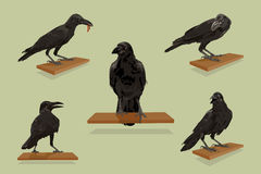 Raven birds with set. Royalty Free Stock Images