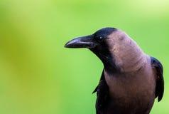Raven Stock Photo