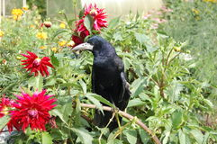 Raven. Black raven in a green grass Royalty Free Stock Photos