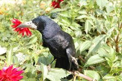Raven. Black raven in a green grass Stock Images