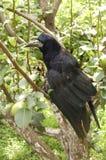 Raven. Black raven in a green grass Royalty Free Stock Photo