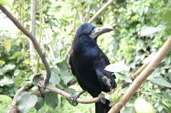 Raven. Black raven in a green grass Royalty Free Stock Image