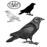 Raven black silhouette  set. Sign vector illustration Royalty Free Stock Photos
