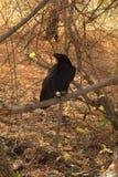 Raven black  wise bird Royalty Free Stock Photography