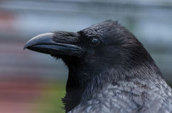 A raven. A black raven in the zoo in Kaluga region Stock Photo