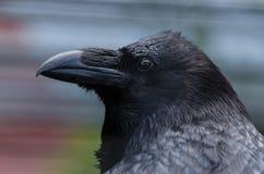 A raven Stock Photo