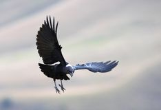 Raven Blanc-étranglé photographie stock