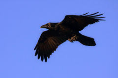 Raven on the blue sky Royalty Free Stock Images