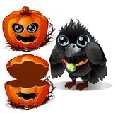 Raven and box of pumpkins. Halloween characters. Bird wears pendant with emerald and gourd carved with terrible face. Raven and box of pumpkins. Halloween Royalty Free Stock Photography