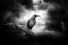 Raven on a branch Stock Photo